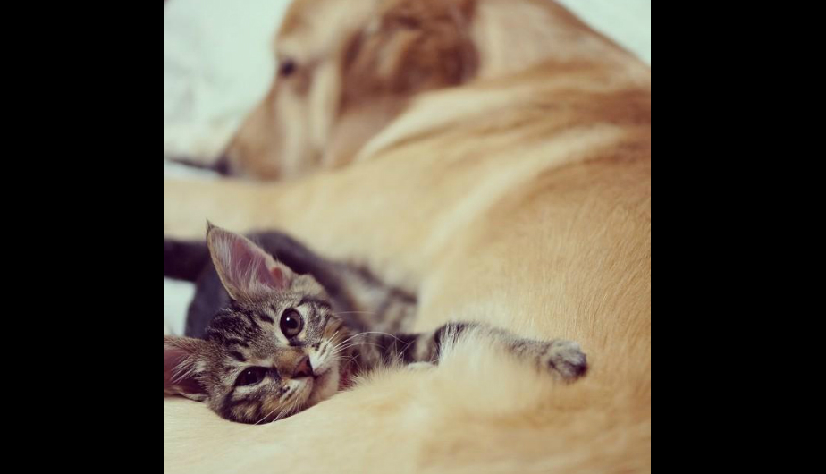 japon, gato, golden retriever
